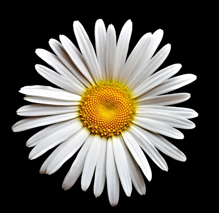 lovely camomile on black background