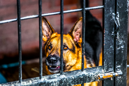 German Shepherd dog in the crate in shelter