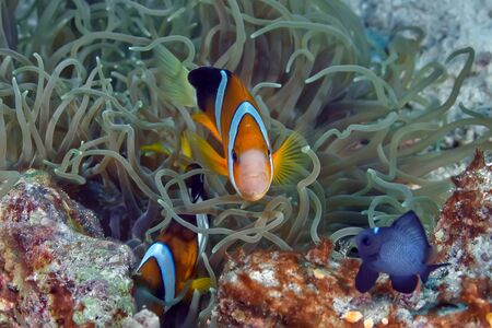 Photo pour Family of clown fish swimming in its anemone. Underwater photography - image libre de droit