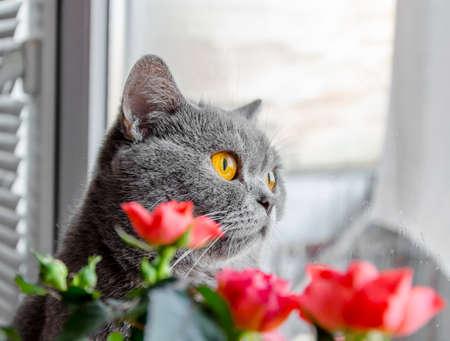 Foto de gray Scottish cat peeks out from behind a flower in a pot of house - Imagen libre de derechos