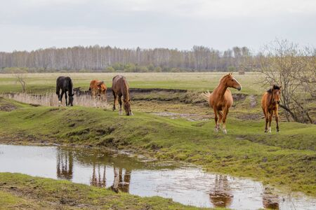 Horses and foal grazing in the pasture. Peacefully nibbling the grass. In the foreground is a puddle in which they are reflected