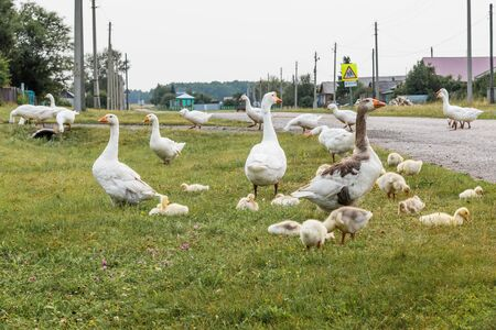 Photo for Goose family walks through the village street. Adult geese guard fluffy babies. - Royalty Free Image