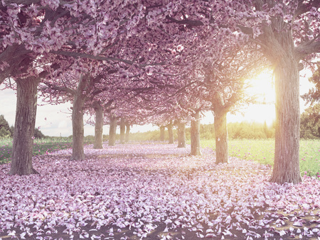 Photo pour Rows of beautifully blossoming cherry trees on a green lawn - image libre de droit