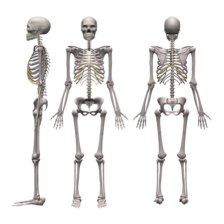 3d render of male skeleton