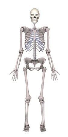 3d render of female skeleton