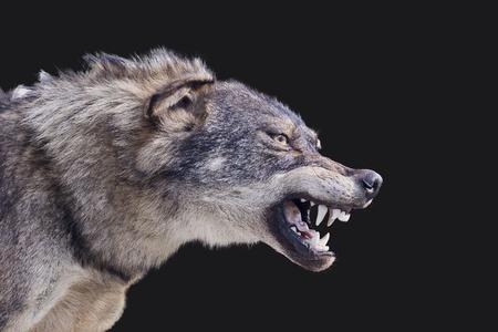 Aggressive wolf stuffed