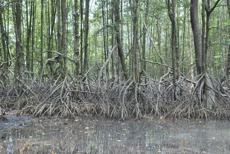 stilt root of the mangrove trees, Rhizophora apiculata