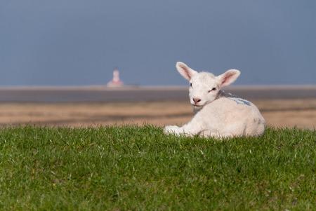 lamb / north sea coast of st. peter-ording / germany
