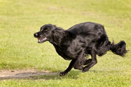 dog race