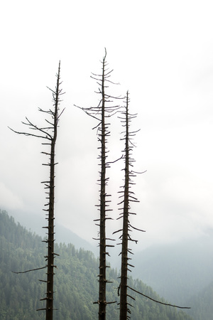 Photo pour tree dry stick isolated on blurry background - himalayas - image libre de droit