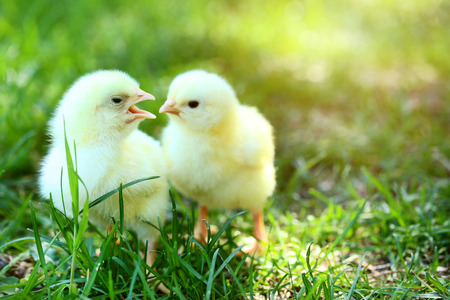 Foto de Little chicks on green grass in the park - Imagen libre de derechos