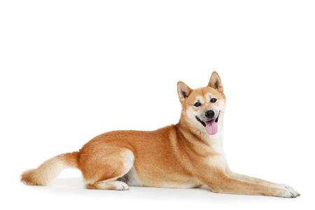 Photo pour Shiba inu dog isolated on white background - image libre de droit