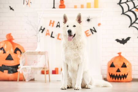 Foto de Swiss shepherd dog with halloween decoration at home - Imagen libre de derechos