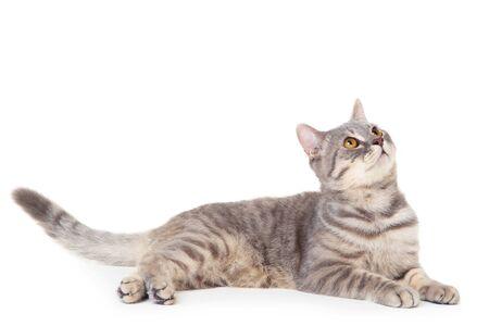 Photo for Beautiful cat lying on white background - Royalty Free Image