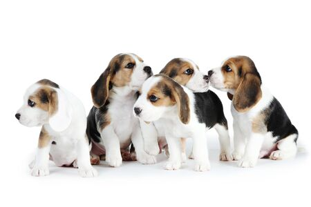 Photo pour Beagle puppy dogs isolated on white background - image libre de droit