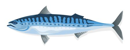 Illustration pour Mackerel with elongate, steel-blue marked with wavy black lines dorsally body and long, pointed snout. Fresh, frozen, salted or smoked scomber fish. Vector cartoon illustration isolated on white. - image libre de droit
