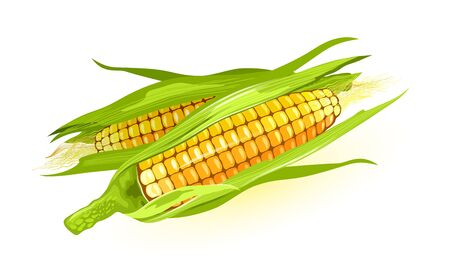 Illustration for Two ripe maize or corn cob, ears of corn with yellow kernels, silk. Cereal grain. Summer harvest. using for cooking corn starch, syrup, popcorn, oil, alcoholic beverages, animal feed. Vector on white. - Royalty Free Image