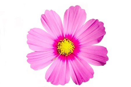 Foto de Pink flower Cosmos sensation isolated on white - Imagen libre de derechos