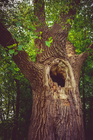 Old hollow tree in the forest