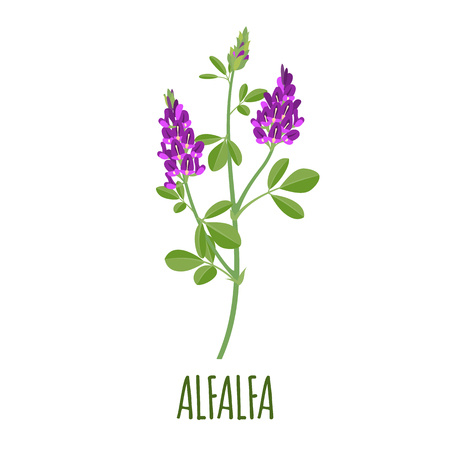 Illustration for Alfalfa vector in flat style. Isolated object. Superfood alfalfa medical herb. Vector illustration. - Royalty Free Image