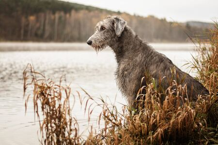 Photo pour Irish Wolfhound. Big gray dog sitting on the river bank. - image libre de droit