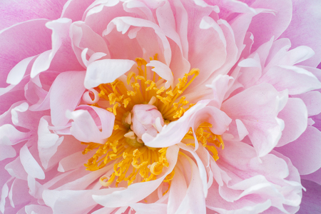 Photo for Peony flower close-up. - Royalty Free Image