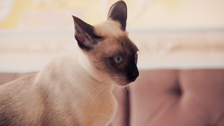 close up of cute blue-eyed siamese cat. Vintage, retro style