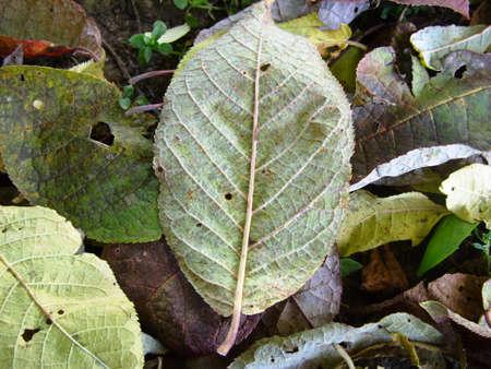 The autumn fallen-down leaf of a bird cherry
