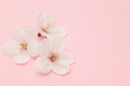 Photo pour Cherry blossom isolated on pink background - image libre de droit