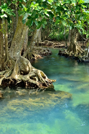 Mangrove forests swamp with