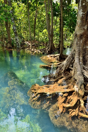 Mangrove forests ( swamp ) w