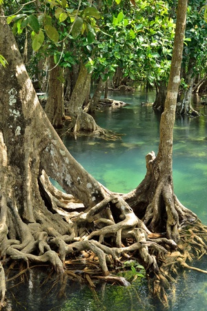 Mangrove Forest IV