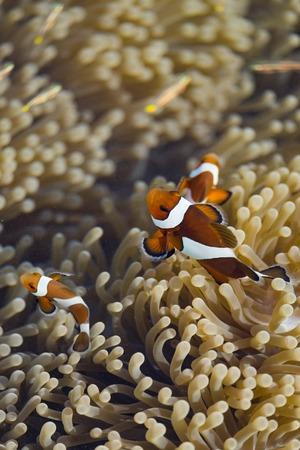 Ocellaris clownfish in their host anemone