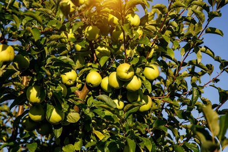Photo for Green apples on a branch in garden ready to be harvested - Royalty Free Image