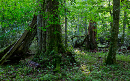 Group of old trees in natural forest in summertime morning with moss wrapped linden tree in