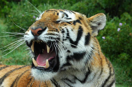 A tired tiger yawning in a game park