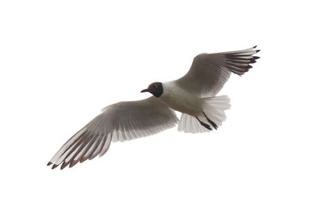Portrait of a seagull in flight, isolated on white