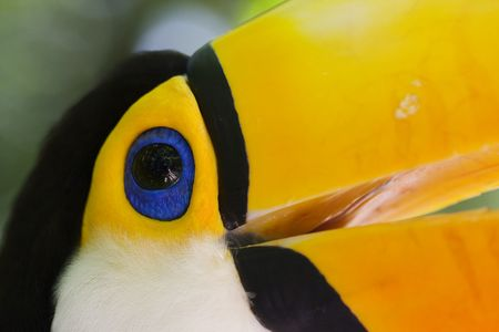 Close-up of a toucan in Brazil - ramphastos toco
