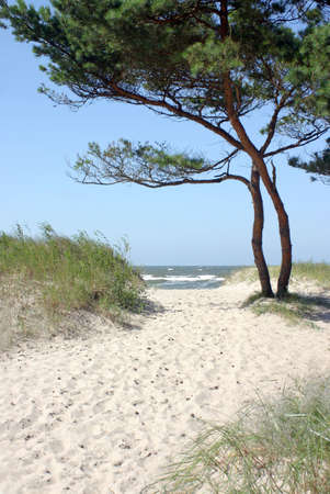 Sandy path to the beach with pine tree and horizon over sea water