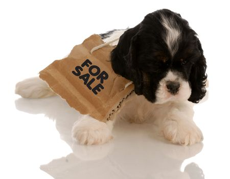 american cocker spaniel puppy with for sale sign around neck