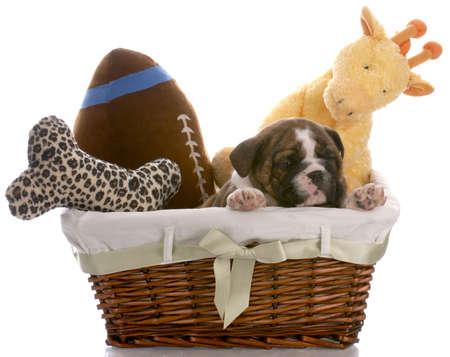 puppy in a basket - english bulldog six weeks old