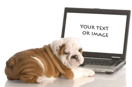 english bulldog puppy working on computer - add your own text or image