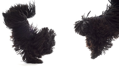 two dogs jumping - corded puli - hungarian herding dogs on white background