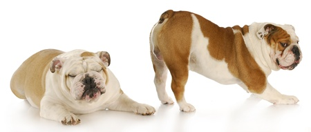 english bulldog disgusted by the smell of another dogs bum with reflection on white background