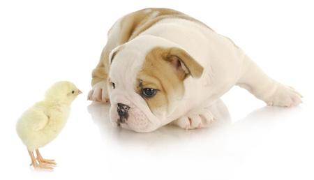 baby animals - newborn chick and bulldog puppy on white background