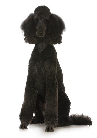 black standard poodle sitting on white background