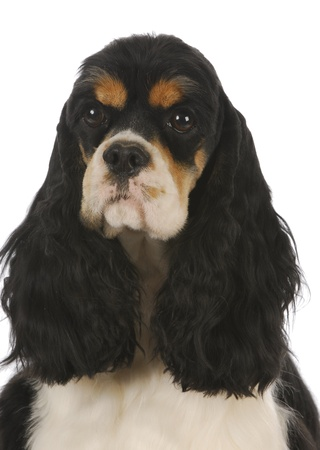 adorable tri-color cocker spaniel head portrait - 2 years old