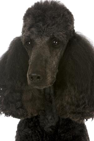 standard poodle portrait - black male champion on white background