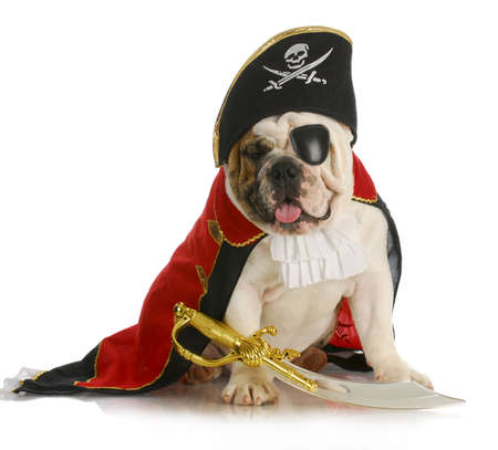 dog pirate - english bulldog dressed up like a pirate on white background