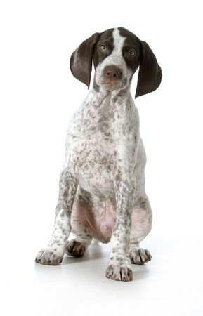 german shorthaired pointer puppy sitting looking at viewer on white background - 11 weeks old